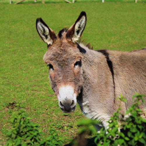 Little Farthingloe Farm, Dover, donkey, countryside,